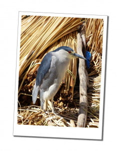 Blue Heron on a reed island Amazing 2 Day Homestay in Lake Titicaca